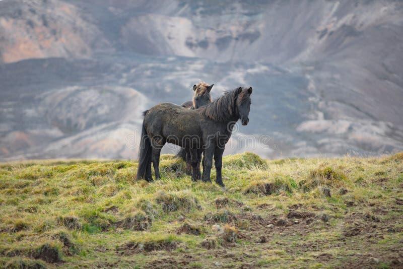 Cavalli neri selvaggi fotografia stock