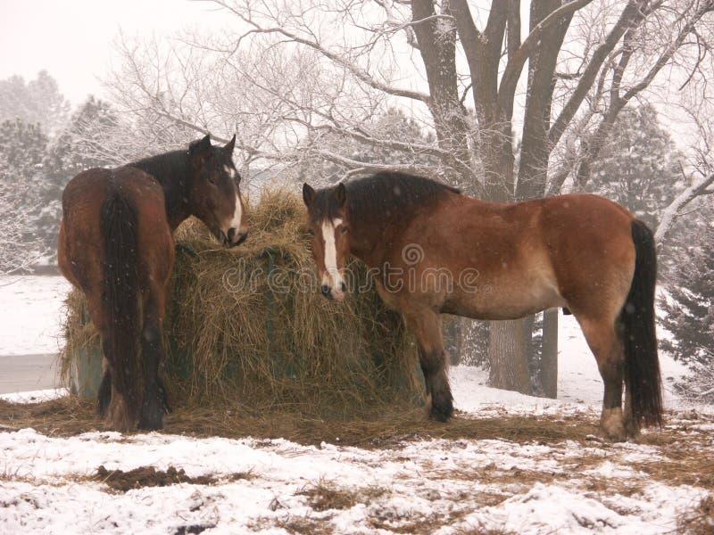 Cavalli in neve immagini stock libere da diritti