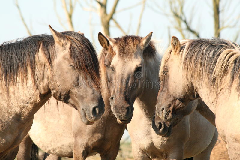 Cavalli Oostvaardersplassen di Konik fotografia stock libera da diritti