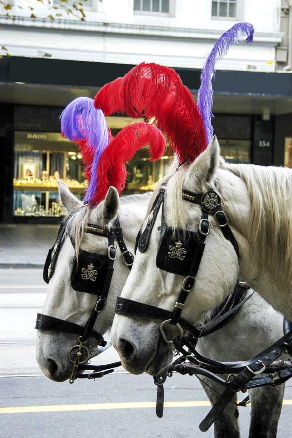 Cavalli piumati che aspettano pazientemente immagine stock libera da diritti