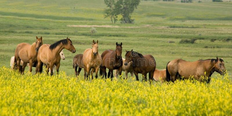 Cavalli quarti in trifoglio immagine stock libera da diritti