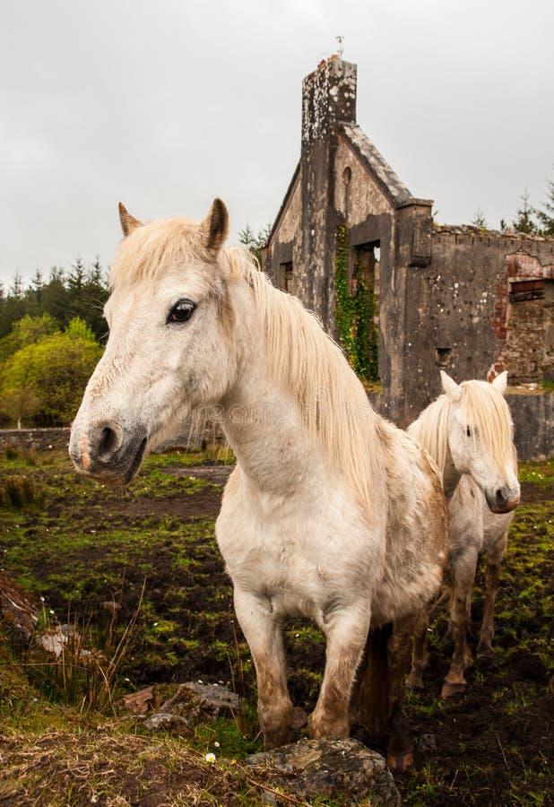 Cavalli rurali in Irlanda fotografia stock libera da diritti
