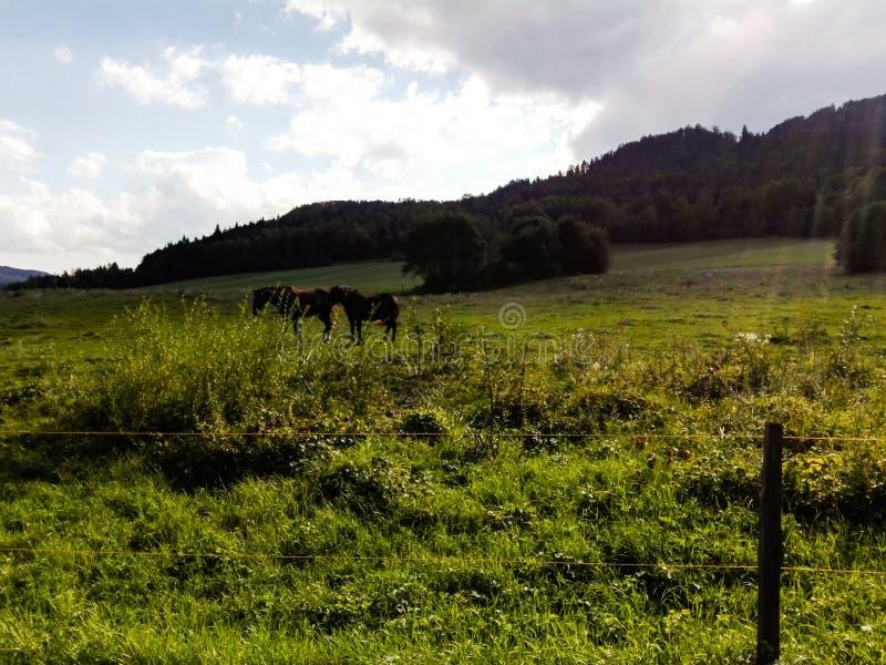 Cavalli scuri sul prato con luce solare fotografia stock libera da diritti