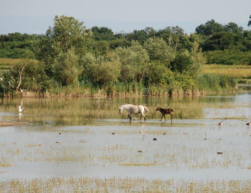 Download Cavalli selvaggi fotografia stock. Immagine di palude - 7321036
