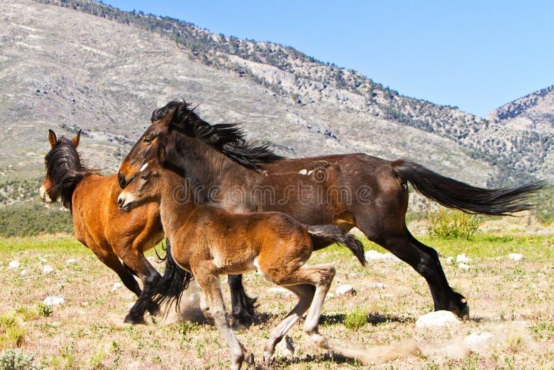 Cavalli selvaggi che funzionano in montagne della sorgente del Nevada immagine stock libera da diritti