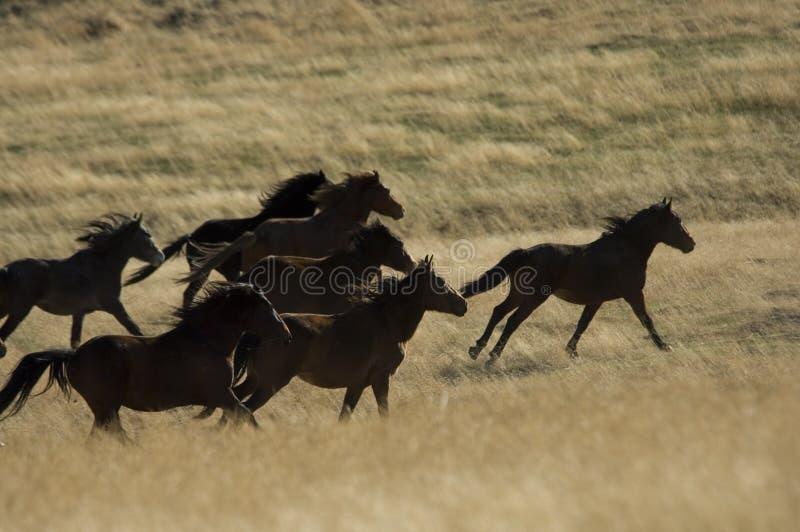 Cavalli selvaggi che funzionano nell'erba alta immagini stock libere da diritti