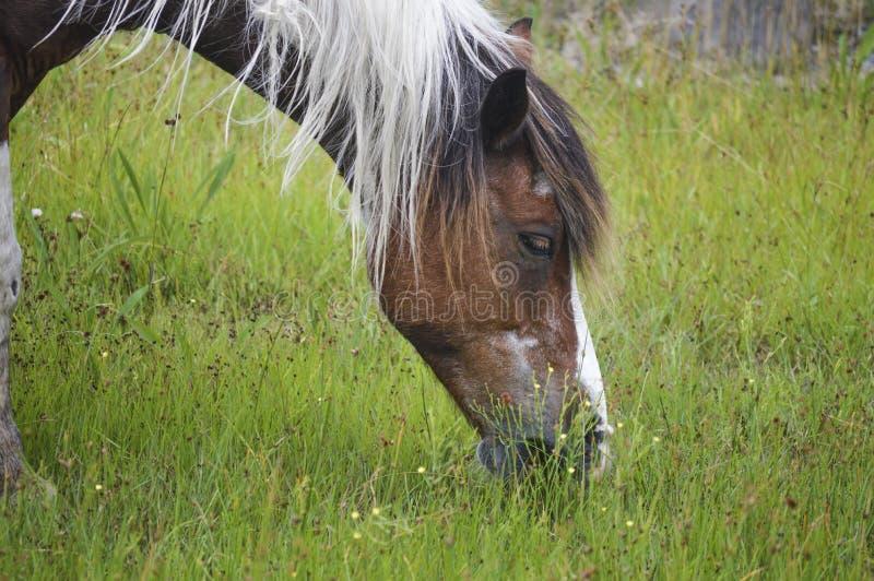 Cavalli selvaggi dell'isola di Assateague immagine stock