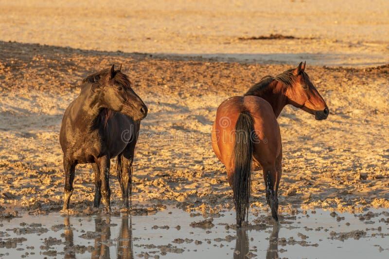 Download Cavalli Selvaggii Ad Un Waterhole Immagine Stock - Immagine di deserto, mustang: 117980957