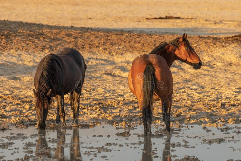 Download Cavalli Selvaggii Ad Uno Stagno Del Deserto Immagine Stock - Immagine di waterhole, estate: 117978315