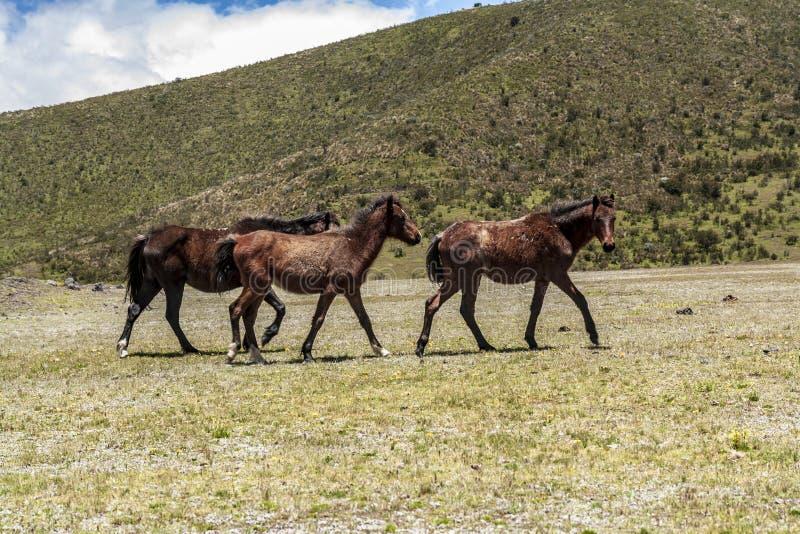 Cavalli selvaggii che camminano in un parco nazionale immagine stock