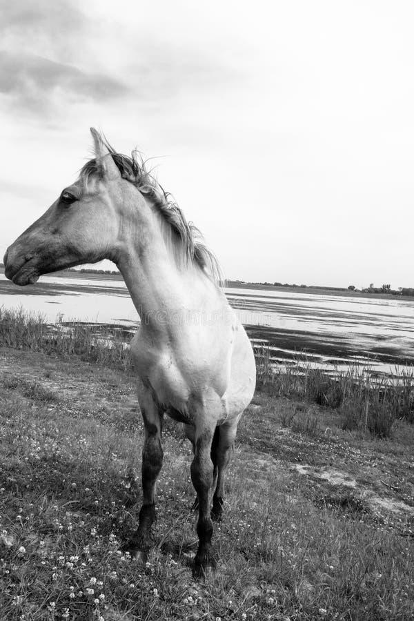 Cavalli selvaggii europei in bianco e nero immagine stock