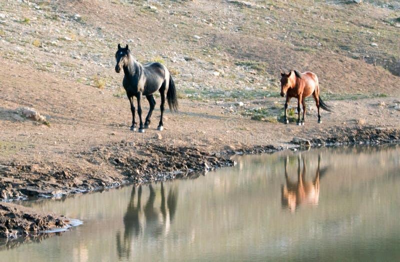 Cavalli selvaggii nel Montana U.S.A. - stallone nero con la sua giumenta del dun che lo segue al foro di acqua nella gamma del ca immagine stock