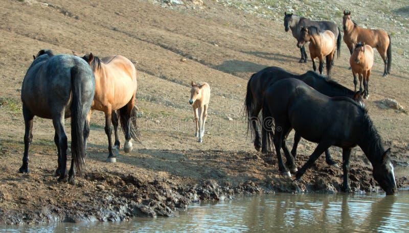 Cavalli selvaggii - puledro del puledro del bambino con la madre ed il gregge al foro di innaffiatura nella gamma del cavallo sel fotografia stock