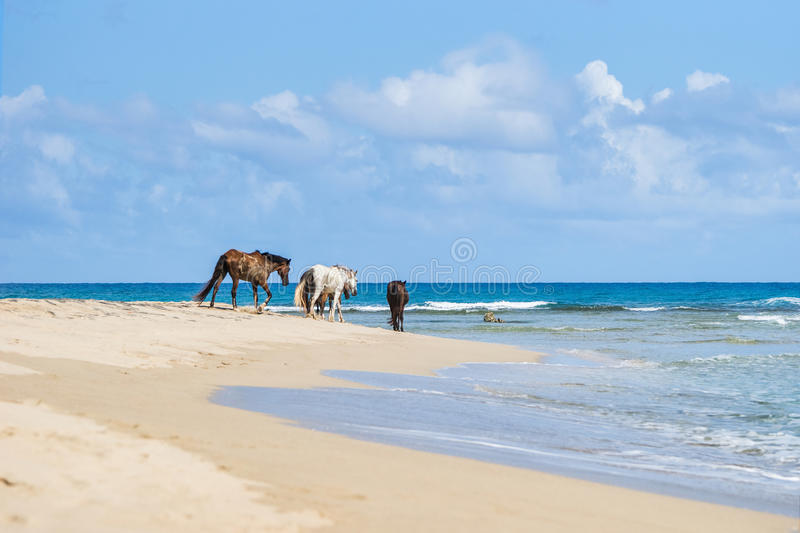 Cavalli selvaggii su una spiaggia immagine stock