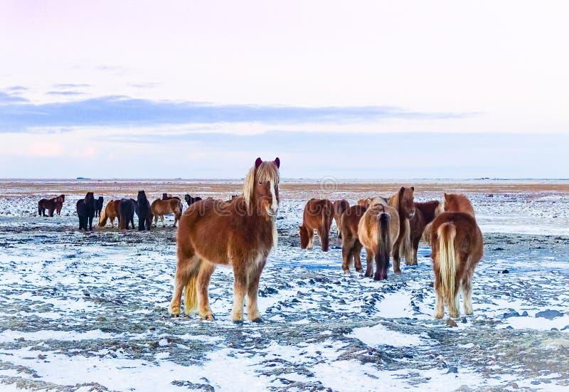 Cavalli sentiti parlare di Iclandic nell'orario invernale del campo di Snowy fotografia stock libera da diritti