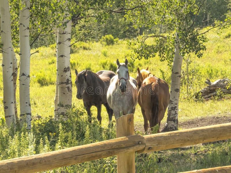 Cavalli sotto la tremula immagine stock libera da diritti