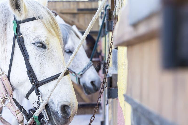 Cavalli su una stalla immagini stock