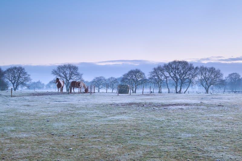 Cavalli sul pascolo gelido durante l'alba nebbiosa fotografie stock libere da diritti
