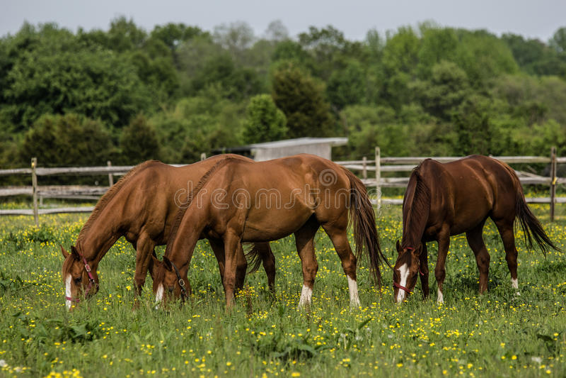Cavalli sull'azienda agricola immagine stock