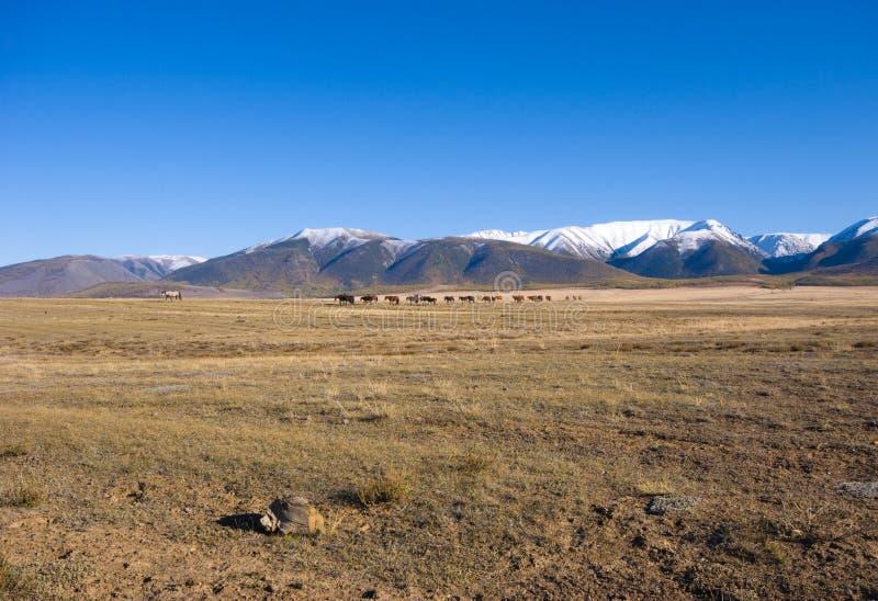 Cavalli sulla steppa di Kuraiskaya fotografie stock libere da diritti