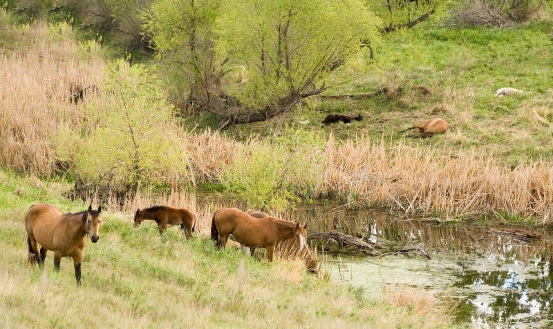 Cavalli tramite il flusso immagini stock libere da diritti