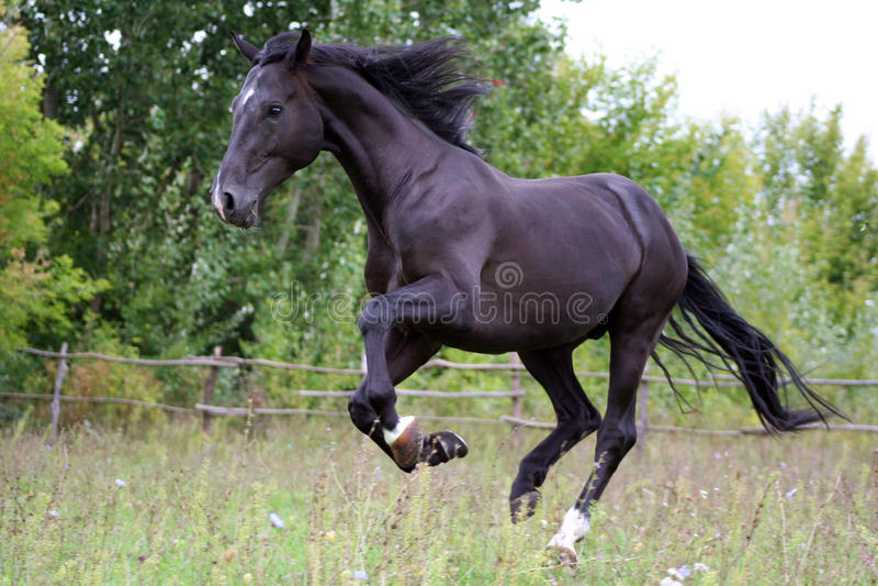 Cavalli ucraini della razza del cavallo immagini stock