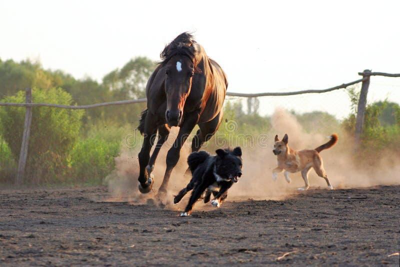Cavalli ucraini della razza del cavallo fotografia stock