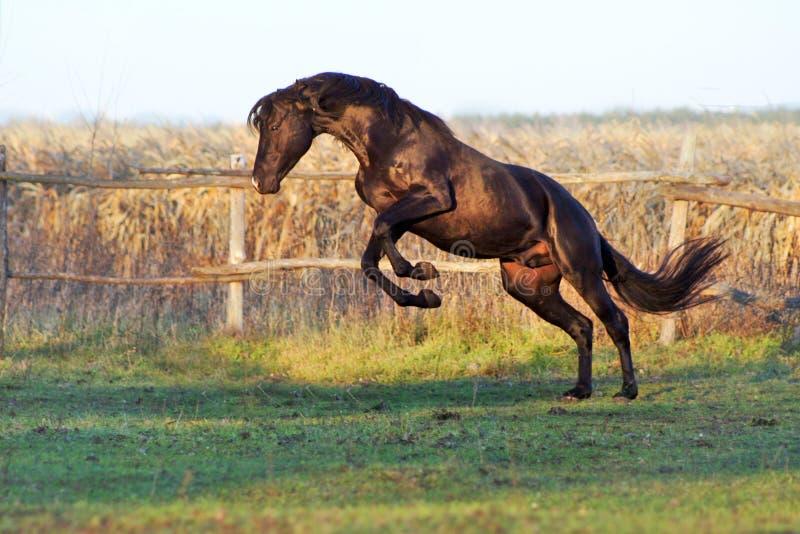 Cavalli ucraini della razza del cavallo fotografie stock libere da diritti