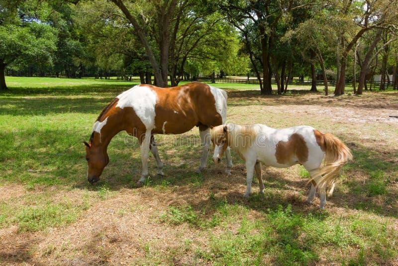 Cavallini che pascono in un campo fotografie stock