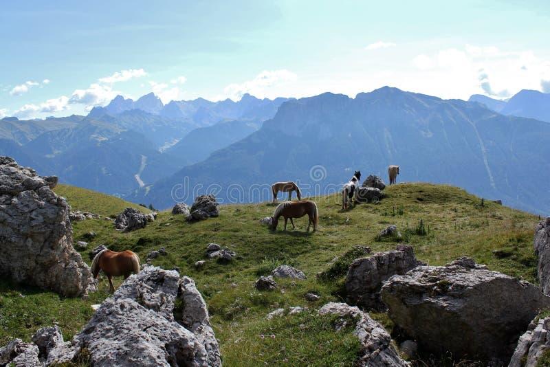 Cavallini dal gruppo di Rosengarten, dolomia immagini stock