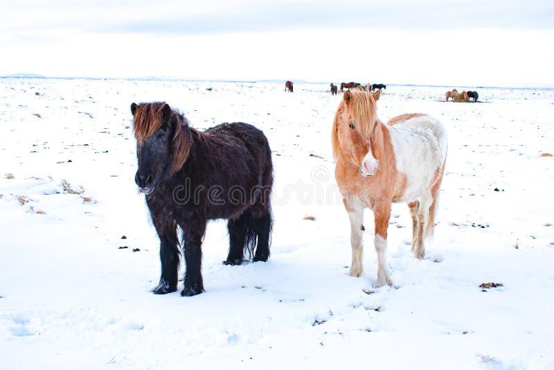 Cavallini islandesi nella neve fotografia stock libera da diritti