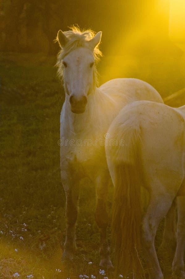 Cavallino al tramonto immagini stock