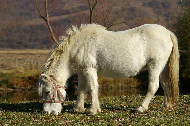 Cavallino bianco fotografie stock libere da diritti