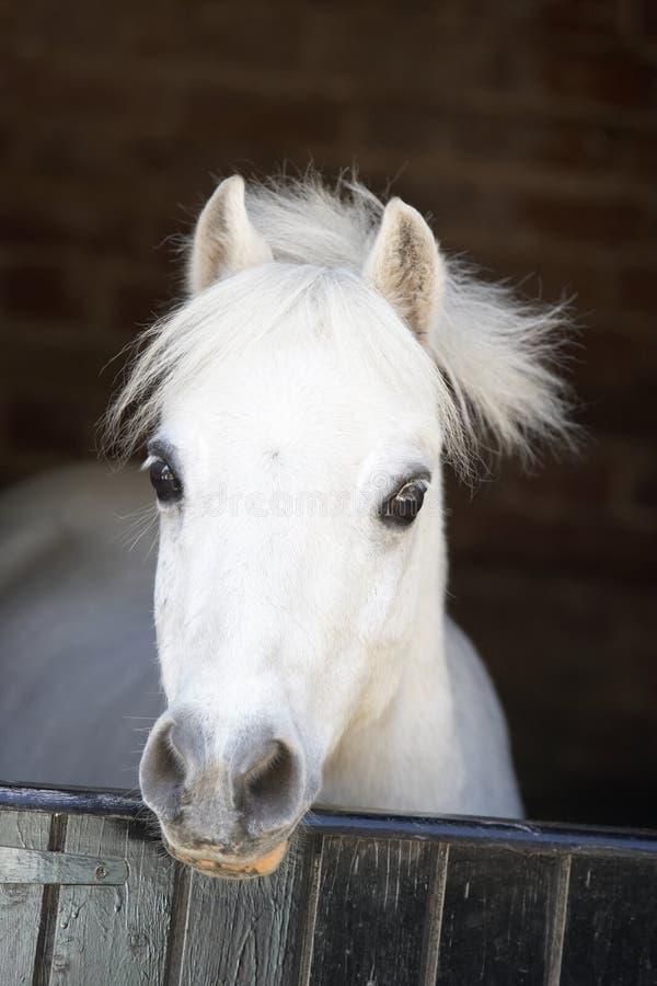 Cavallino che osserva sopra il portello stabile fotografia stock