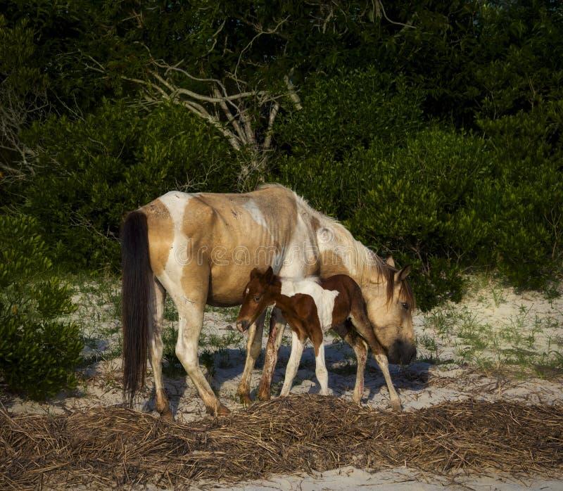 Cavallino con il puledro fotografia stock