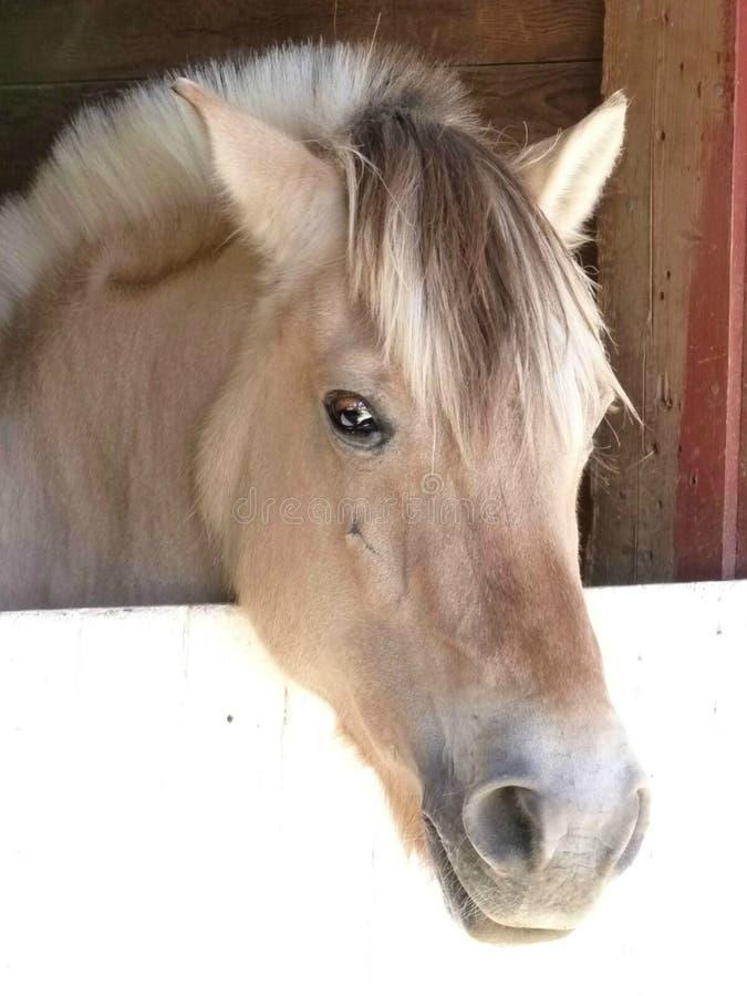 Cavallino del fiordo con un fronte amichevole immagine stock