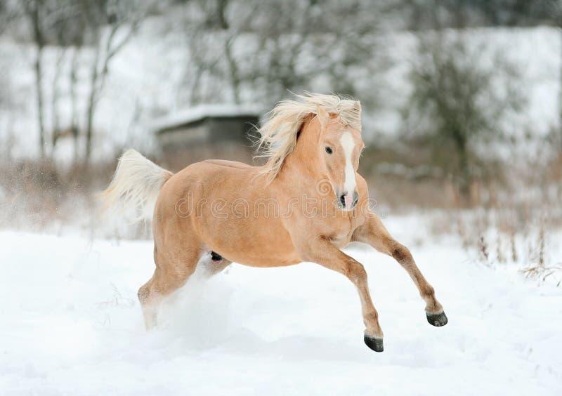 Cavallino del Palomino in inverno fotografie stock