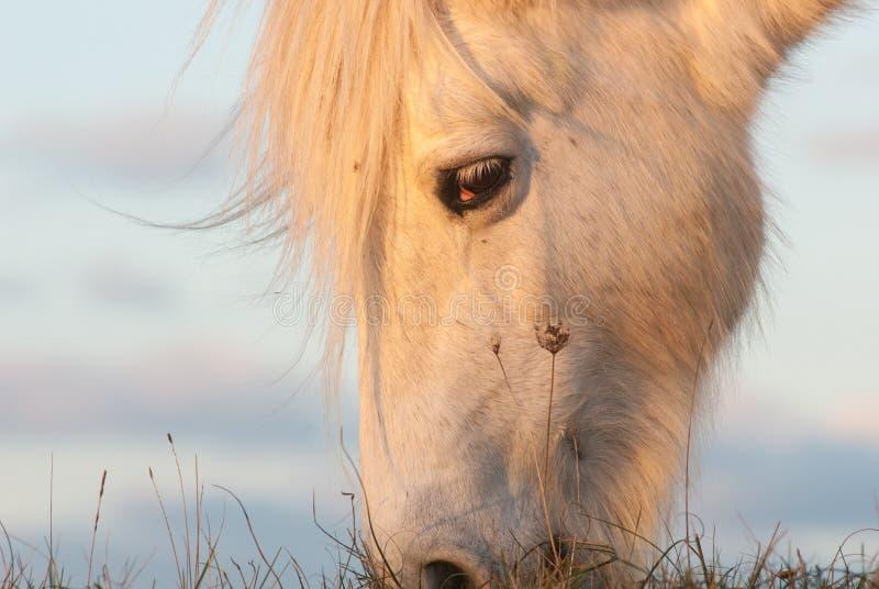 Cavallino dell'altopiano immagine stock