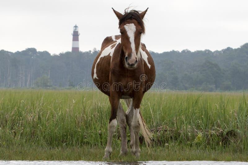 Cavallino di Chincoteague con il faro fotografia stock