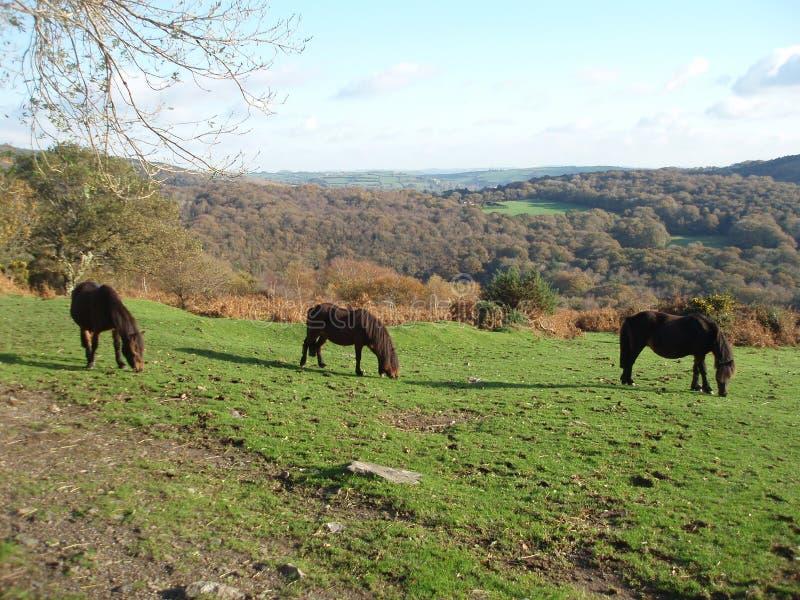 Cavallino di Dartmoor immagine stock