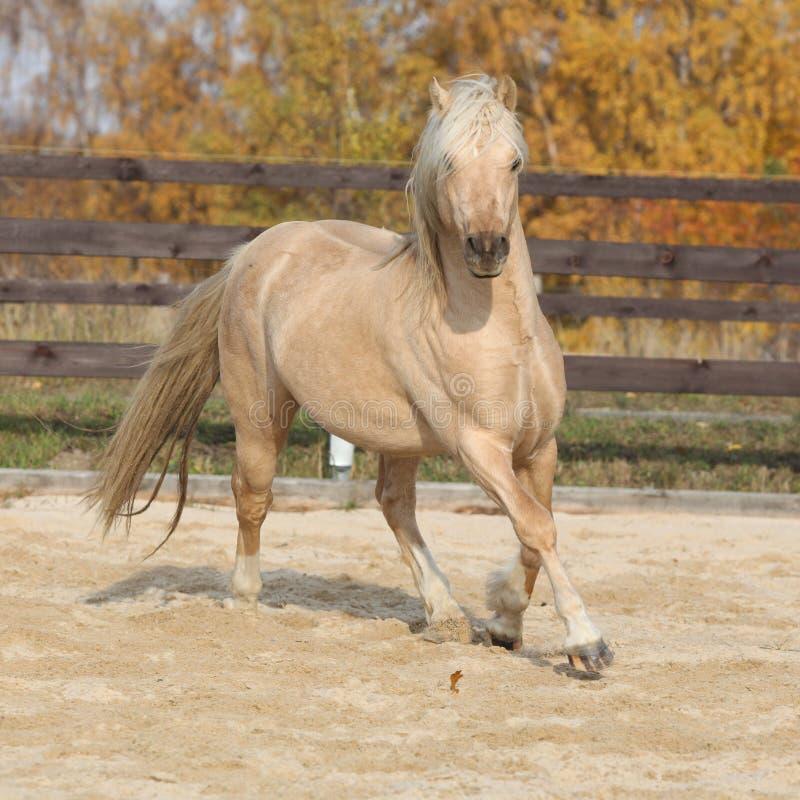 Cavallino di lingua gallese splendido del tipo funzionamento della pannocchia in autunno fotografia stock libera da diritti