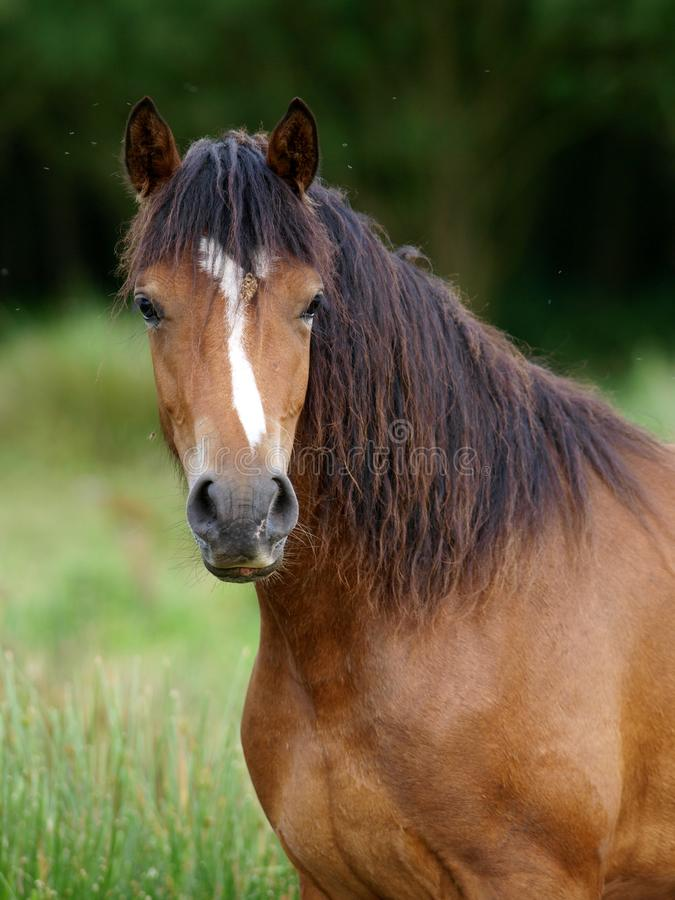 Cavallino di lingua gallese immagine stock libera da diritti