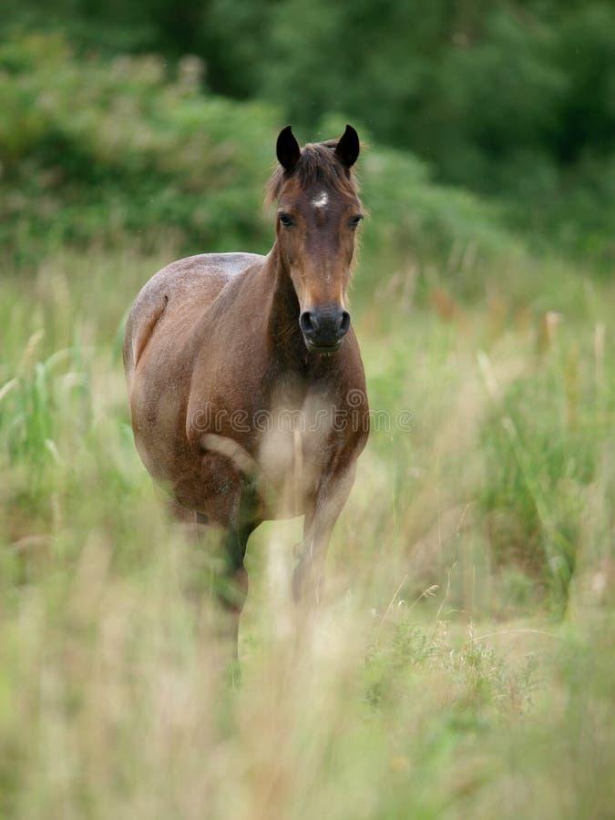Cavallino di lingua gallese immagini stock