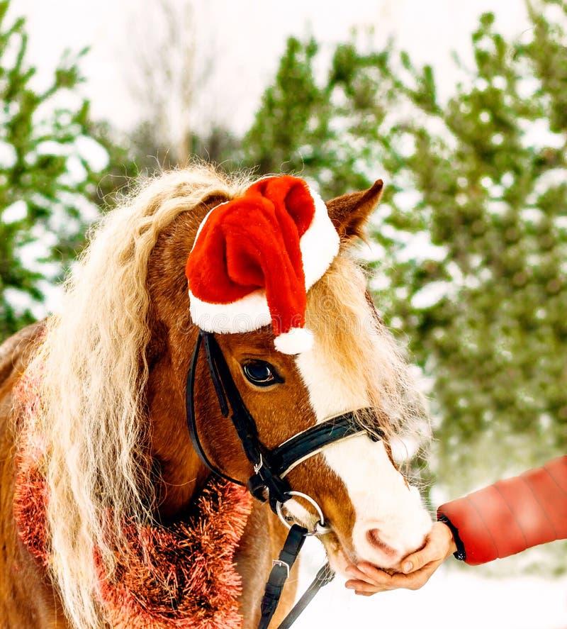 Cavallino di Natale in alimentazione dello spiritello malevolo fuori dalla mano fotografie stock