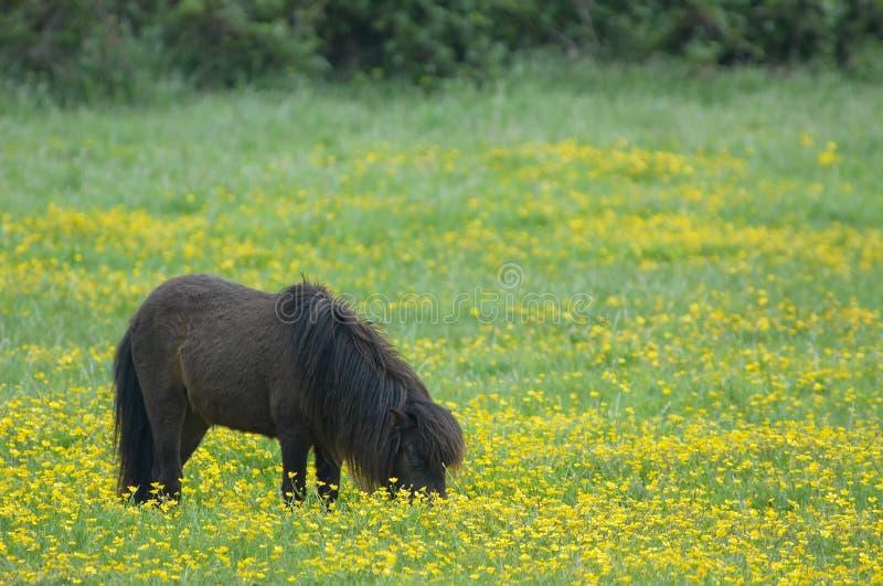Cavallino di primavera immagini stock