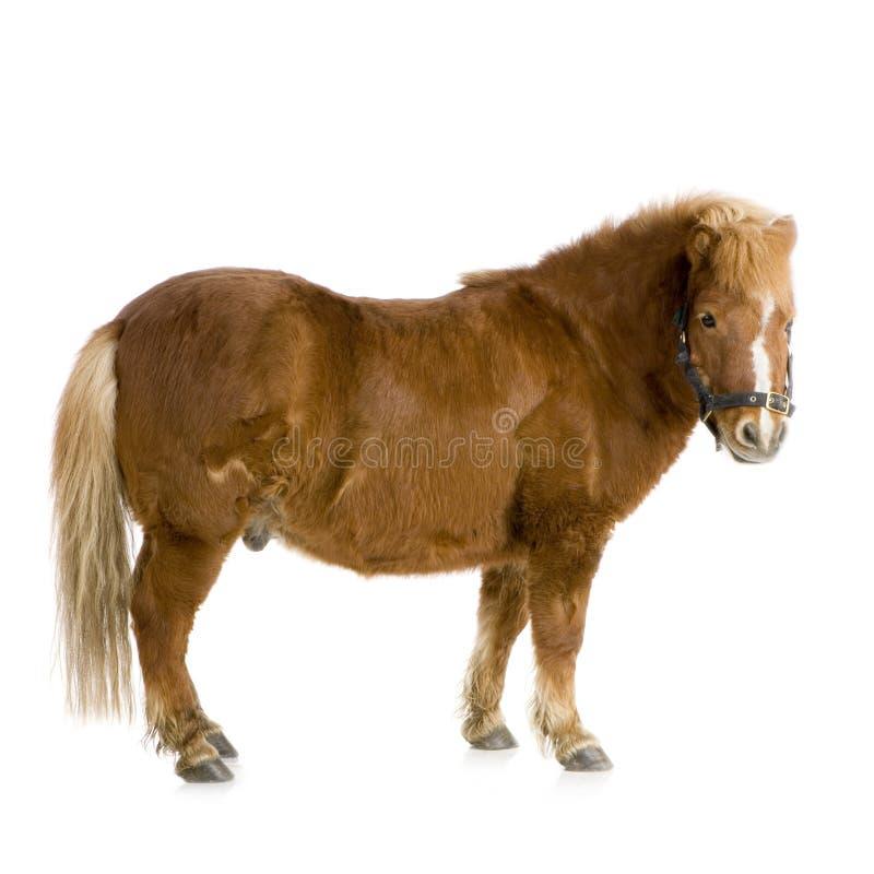Cavallino di Shetland (13 anni) fotografia stock libera da diritti