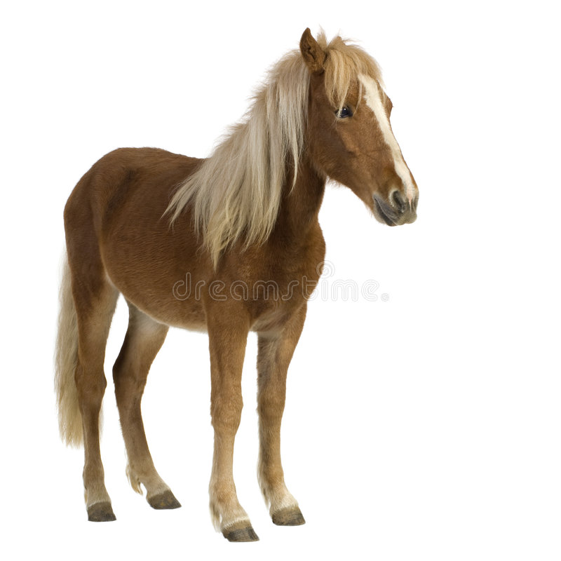 Cavallino di Shetland (2 anni) fotografia stock libera da diritti