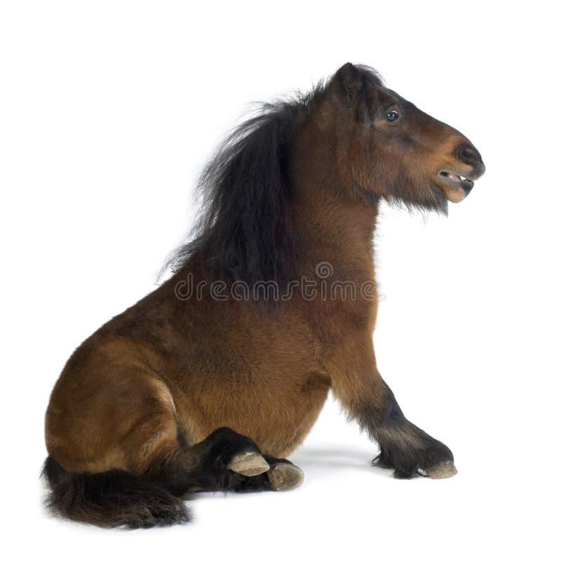 Cavallino di Shetland fotografia stock