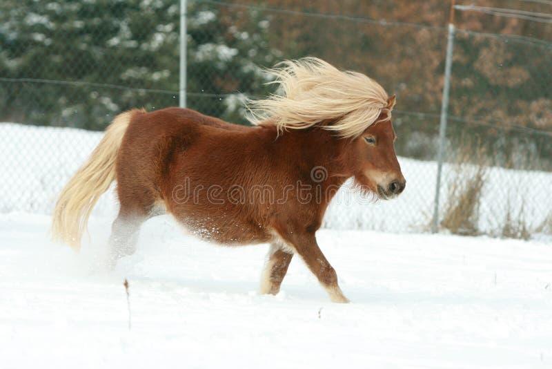 Cavallino di Shetland splendido con la criniera lunga nell'inverno immagine stock libera da diritti