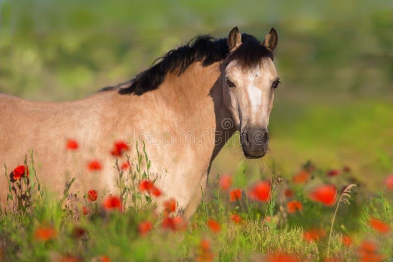 Cavallino in fiori del papavero fotografia stock